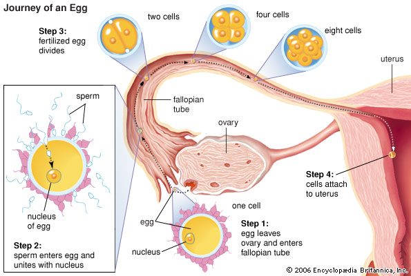 Difference between Egg and Sperm cells 01